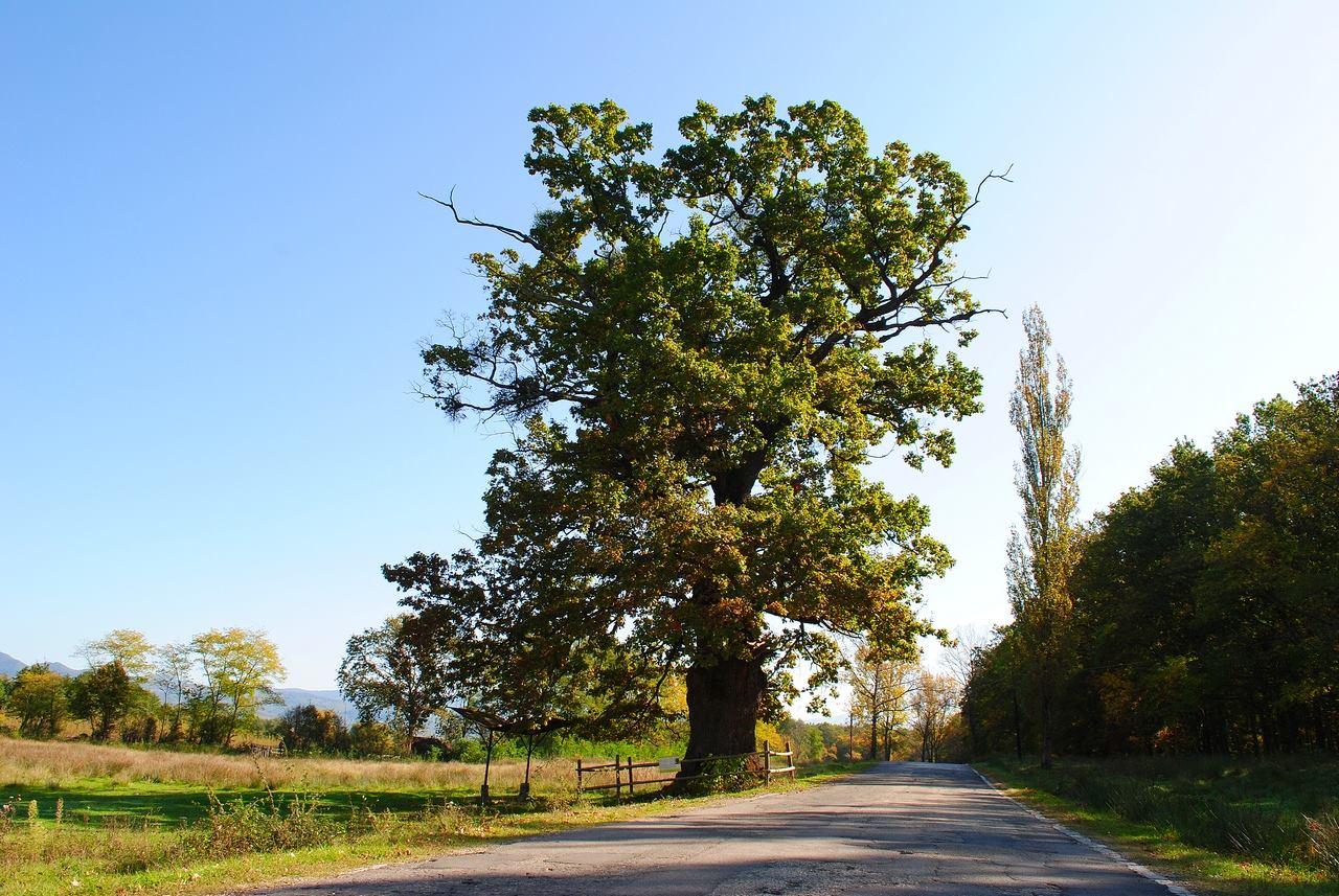 Stejarul secular din Remetea