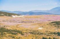 Field of crocus