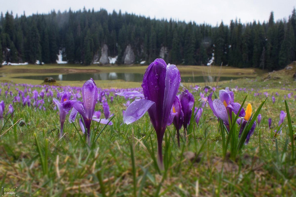 Crocus in Ponor Glade