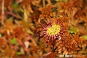 Roua Cerului Drosera rotundifolia